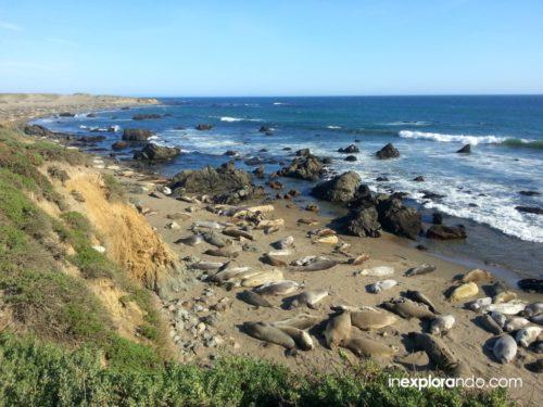 Elefantes marinos en Piedras Blancas